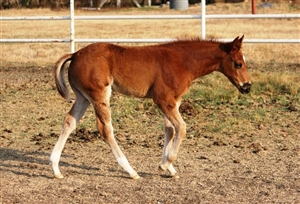 Tinsel Jac x Ms Red Hot Lena sorrel filly