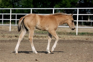 Tinsel Jac x Dream Lil Nic buckskin filly