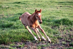 Tinsel Jac x Collena Smart Chic red dun filly