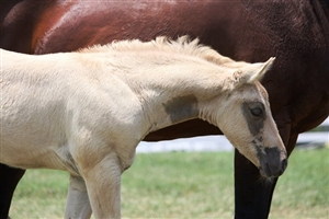 Tinsel Jac Palomino Colt Owned by Kathy Hinton